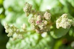 Rhabarberblumen Lizenzfreie Stockfotos