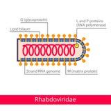 Rhabdoviridae Ταξινόμηση των ιών ελεύθερη απεικόνιση δικαιώματος