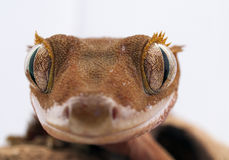 Rhacodactylus ciliatus - Crested Gecko Royalty Free Stock Photography