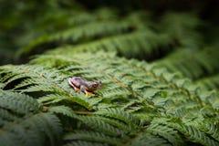 Rhacophorus bipunctatus Dostrzegająca Drzewna żaba, Webbed fotografia stock
