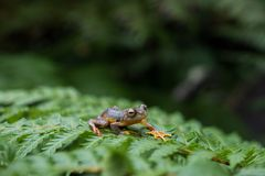 Rhacophorus bipunctatus Double-spotted Tree frog, Orange-webbed stock photography