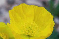 Rhaetian Alps poppy Stock Photo