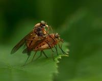 Rhagionidae Rhagio tringarius Stock Photo