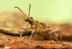 Rhagium inquisitor Stock Photo