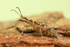 Rhagium inquisitor Royalty Free Stock Photos