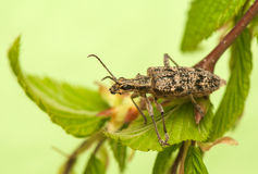 Rhagium inquisitor Royalty Free Stock Photo