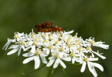 Rhagonycha fulva Royalty Free Stock Images