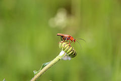 Rhagonycha fulva. Common red soldier beetle with water drop on flower burgeon Royalty Free Stock Image