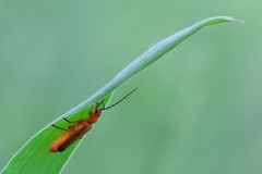 Rhagonycha fulva Royalty Free Stock Photography