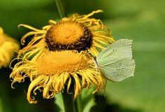 Rhamni de Gonepteryx da borboleta do enxofre na flor amarela foto de stock royalty free
