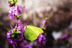 Rhamni Gonepteryx бабочки Стоковые Изображения RF