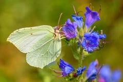 Rhamni Gonepteryx крупного плана цветка бабочки Стоковое Изображение RF