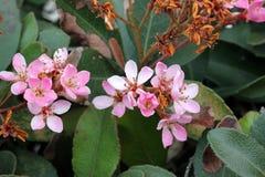 Rhaphiolepis indica, индийский боярышник, боярышник Гонконга Стоковые Изображения