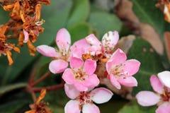 Rhaphiolepis indica, индийский боярышник, боярышник Гонконга Стоковое Изображение