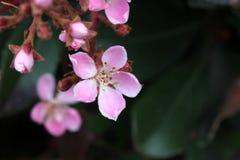 Rhaphiolepis indica, Indische haagdoorn, Hong Kong-haagdoorn Royalty-vrije Stock Fotografie