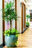 Rhapis de Reed o palma de señora o palmera del bambú en la decoración a del pote Fotos de archivo libres de regalías