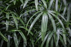 Rhapis excelsa or Lady palm tree in the garden tropical leaves Stock Photos