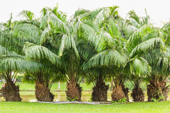 Rhapis excelsa shrubs in the park in spring Royalty Free Stock Photography