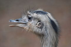 Rhea. The rheas are ratites (flightless birds, with unkeeled sterna) in the genus Rhea, native to South America. There are two existing species: the Greater or Royalty Free Stock Photography