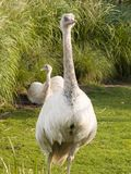 Rhea 2 Royalty Free Stock Image