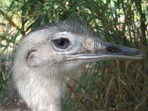 Rhea. Closeup Rhea americana Stock Images