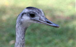 Rhea americana Royalty Free Stock Photo