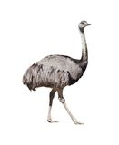 Rhea americana cutout Stock Photo