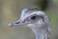 Rhea americana Stock Photography