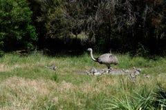 Rhea Americana With Its Chicks die naar Voedsel dichtbij Punta Del Este, Uruguay zoeken Stock Afbeeldingen