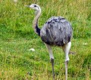 Rhea Bird Stock Photo