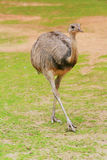 Rhea bird Royalty Free Stock Images