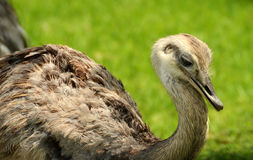 Rhea bird closeup head view Royalty Free Stock Images