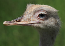 Rhea bird Royalty Free Stock Photos
