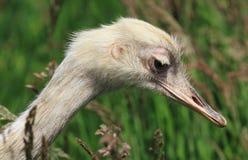 Rhea bird Stock Image