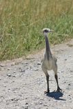 Rhea Chick Foto de Stock