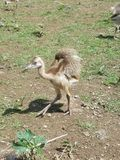 Rhea chick Royalty Free Stock Image