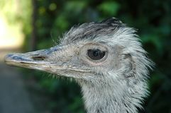Rhea. Close up of the head of a rhea Stock Photography