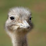 Rhea de Darwin fotografia de stock