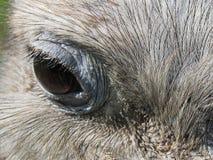 Rhea Eye Photographie stock libre de droits