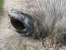Rhea Eye. A close up of the eye of a Darwin's Rhea Royalty Free Stock Photography