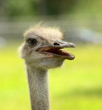 Rhea head closeup Stock Photography