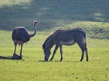 Rhea i zebra Fotografia Stock