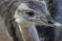 Rhea ptak Zdjęcie Royalty Free