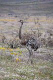 Rhea (Rhea americana) - Chile Royalty Free Stock Photography