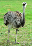 Rhea with it's mouth open. A Rhea with it's mouth open Royalty Free Stock Photography