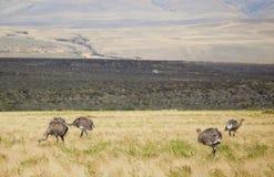 Rheas en el Patagonia meridional Imagen de archivo