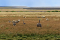 Rheas and sheep Royalty Free Stock Images