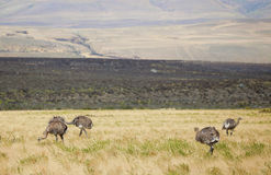 Rheas in the Southern Patagonia Stock Image