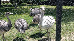 Rheas waiting to be fed Stock Images