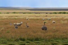 Rheas y ovejas Imágenes de archivo libres de regalías